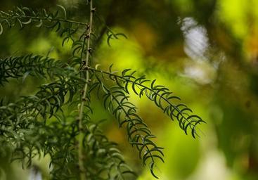 aimil-asparagus-racemosus-3623964_640