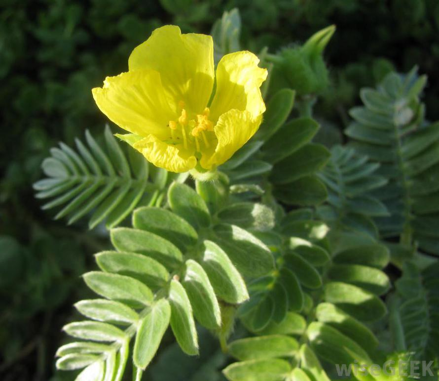 tribulus-plant