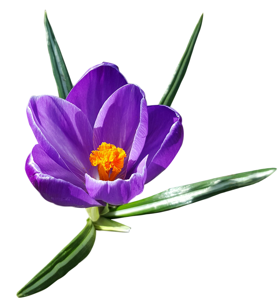 AIMIL_crocus_sativus_960