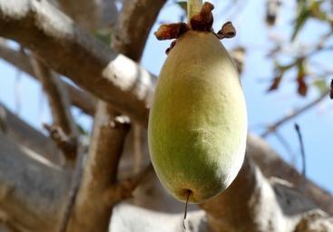 baobab-aimil
