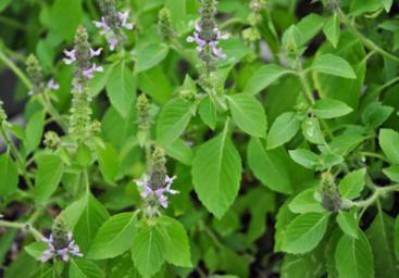 aimil-Ocimum-tenuiflorum
