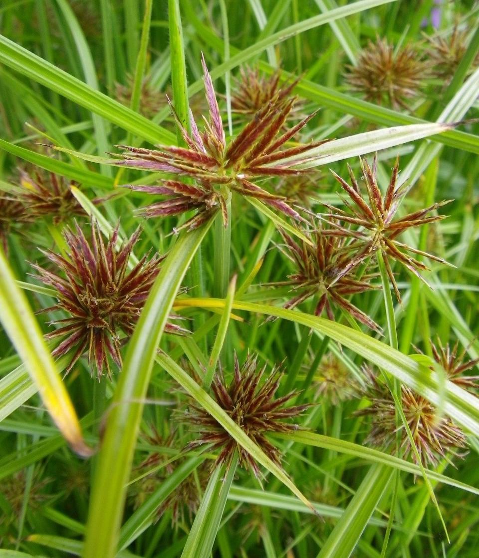 Cyperus-rotundus-3
