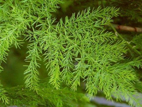 aimil-asparagus-racemosus-500x500