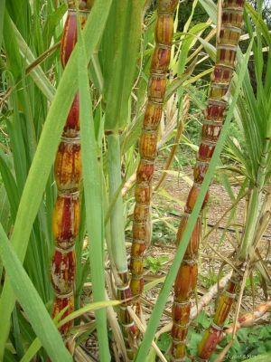 aimil-saccharum-officinarum