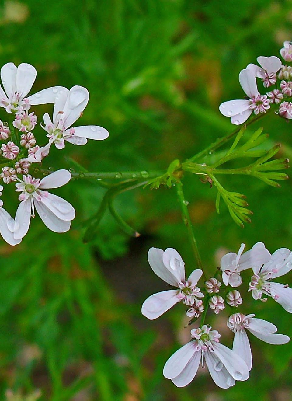 aimil-Coriandrum-sativum